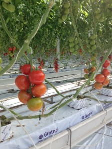 Tomatoes on the vine at Village Farms